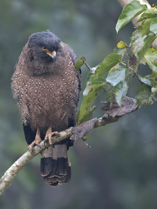 crested-serpant-eagle