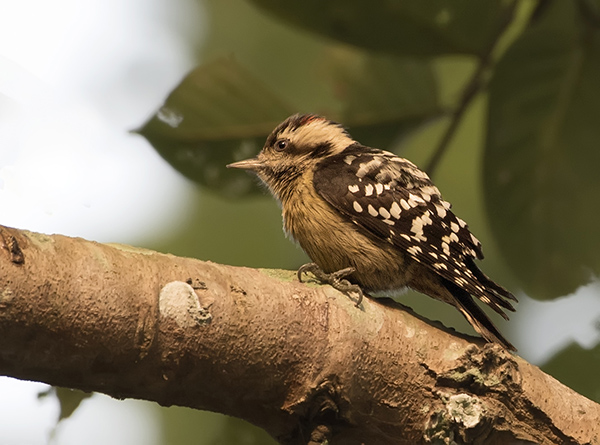 grey-capped-pgymy-woodpecker