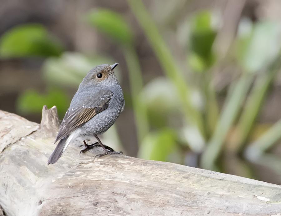 plumbeous-water-redstart-female