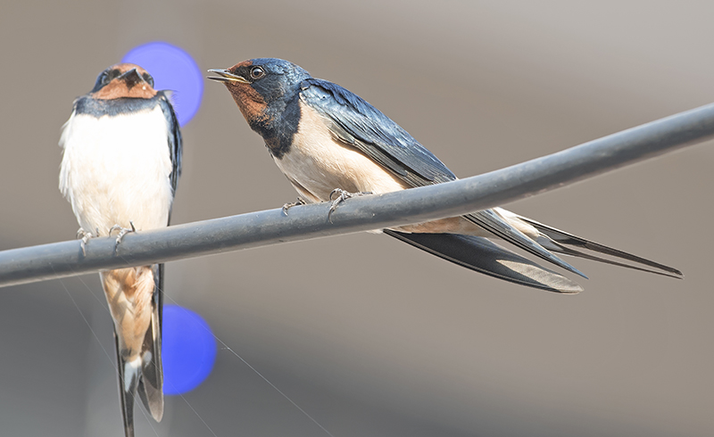 wire-tailed-swallow-nepal