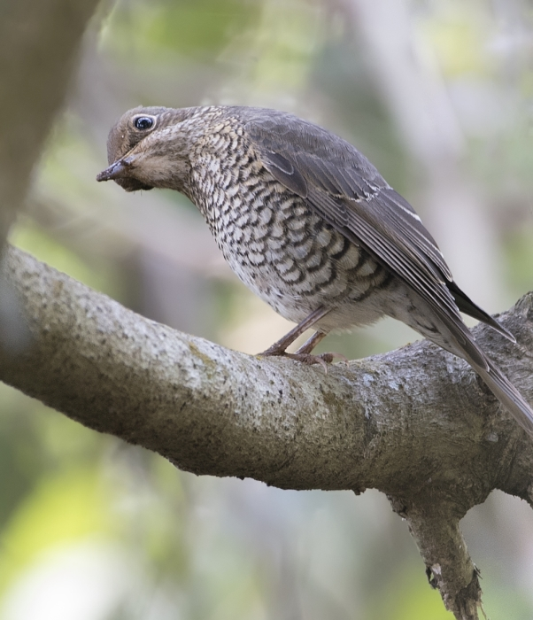 blue-capped-rock-thrush-female