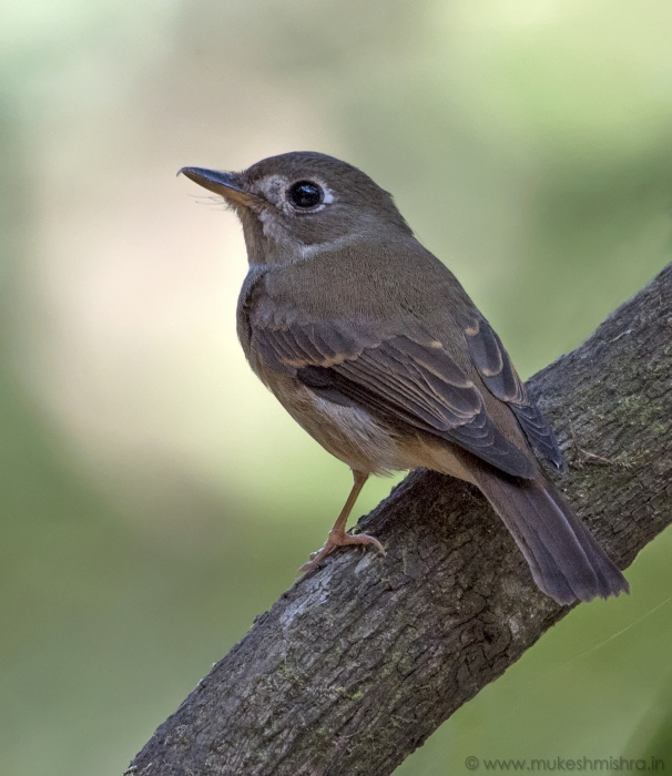 brown-breasted-flycatcher
