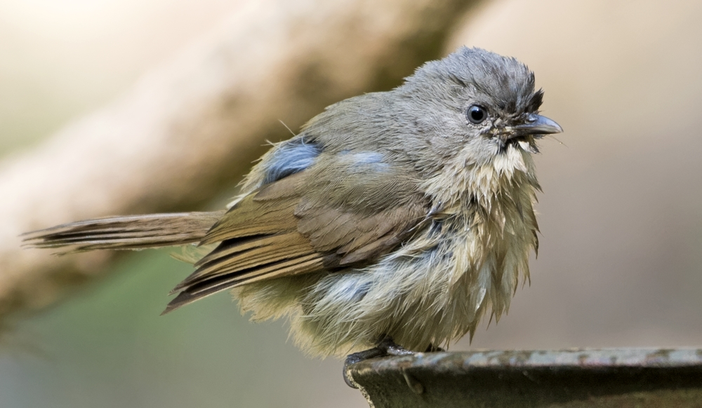 browned-cheeked-fulvetta-2