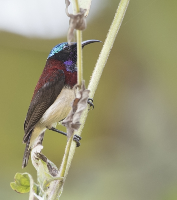 crimson-backed-sunbird