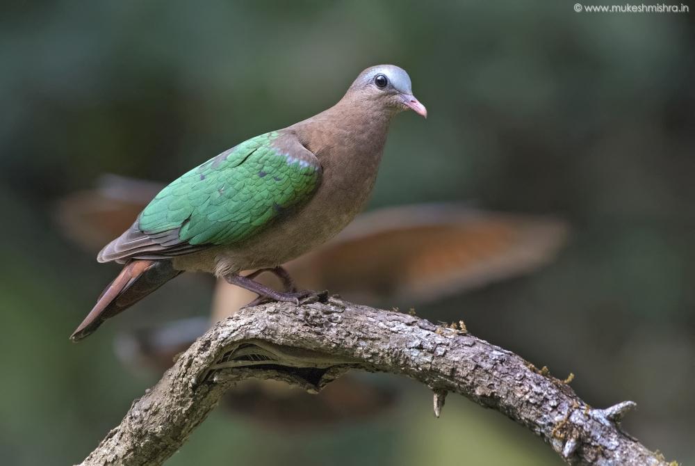 emrald-dove