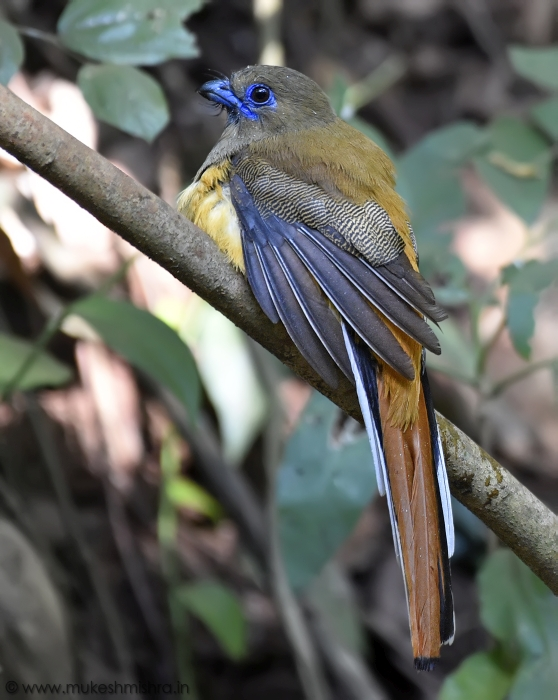 malabar-trogon-female-2.jpg