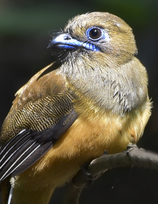 malabar-trogon-female
