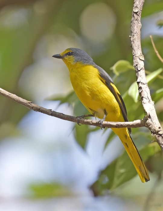 orange-minivet-female