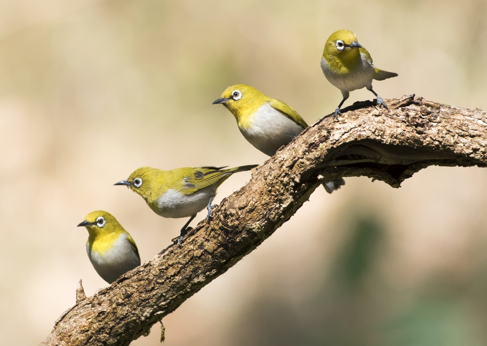 oriental-white-eye-four