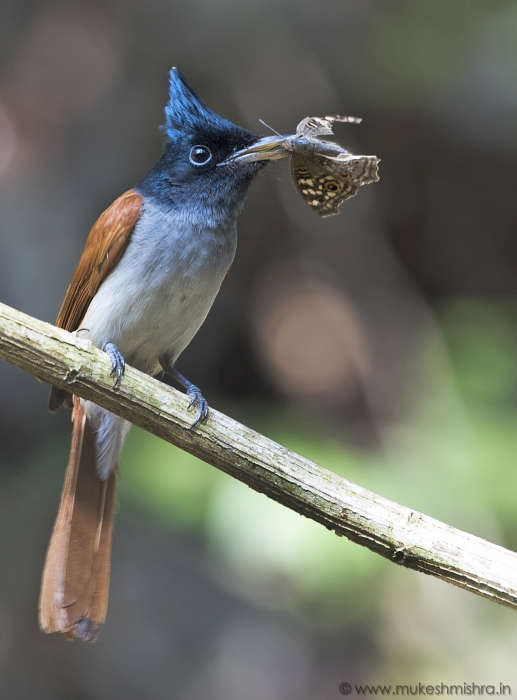 rufous-morph-indian-paradise-flycatcher-female.jpg