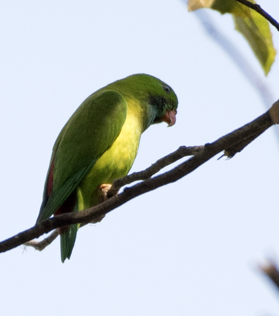 vernal-hanging-parrot
