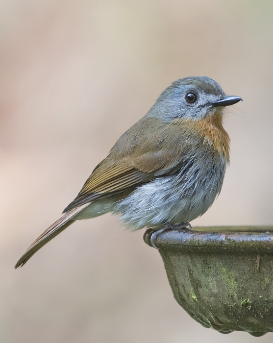 white-bellied-blue-flycatcher-female-2