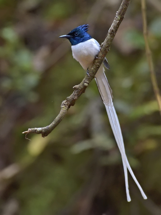 white-morph-indian-paradise-flycatcher-male.jpg