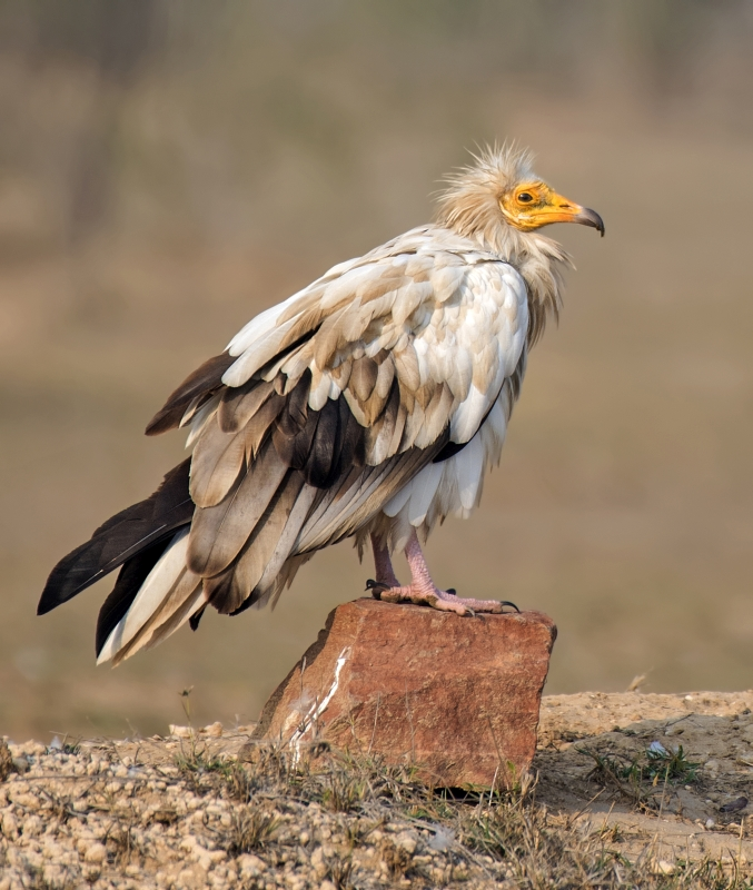Egyptian-vulture (Neophron percnopterus)
