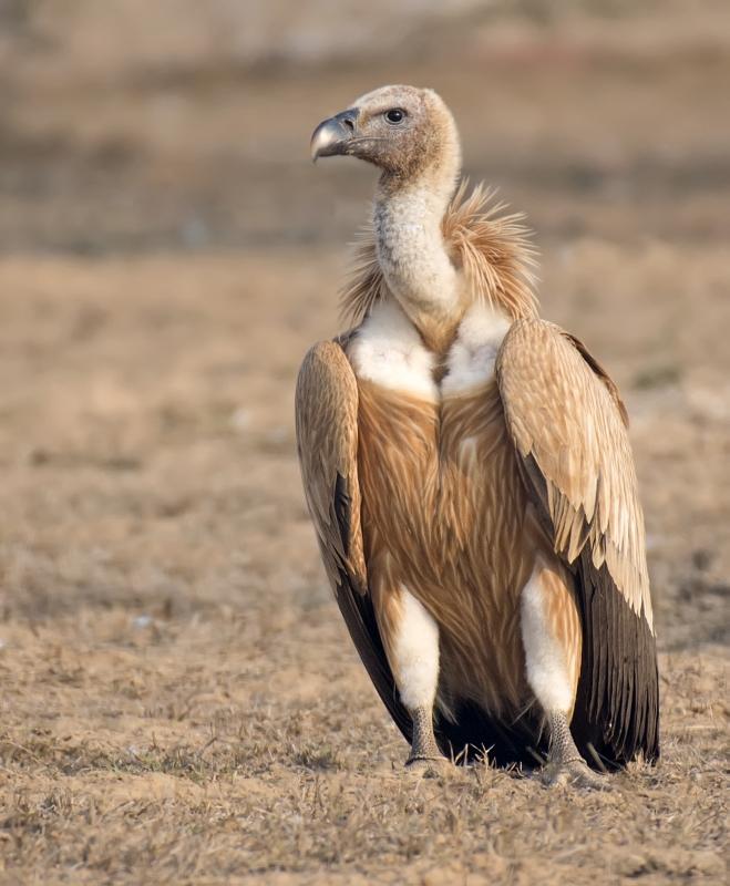 griffon-vulture (Gyps fulvus)