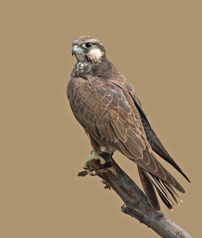 laggar-falcon