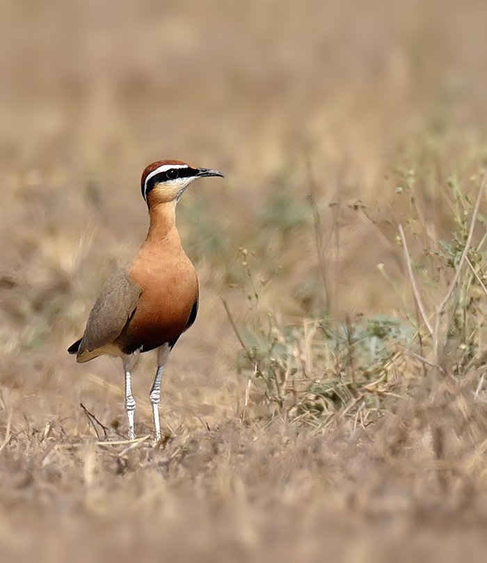 indian-courser