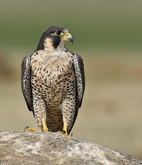 peregrine-falcon-headon