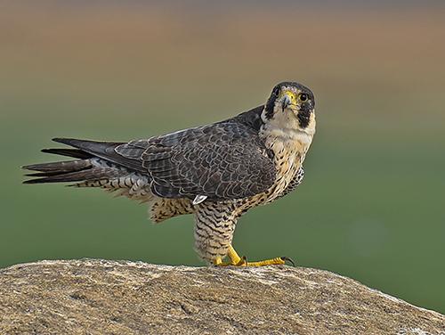 peregrine-falcon-on-rock