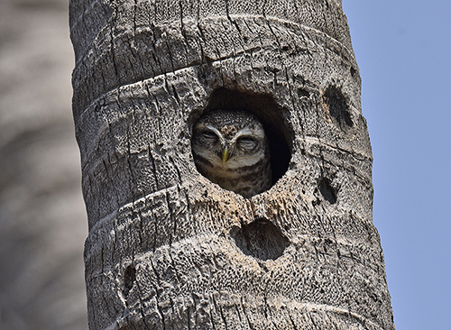 spotted-owlet-on-tree-hole