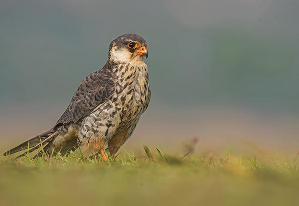 amur-falcon-female