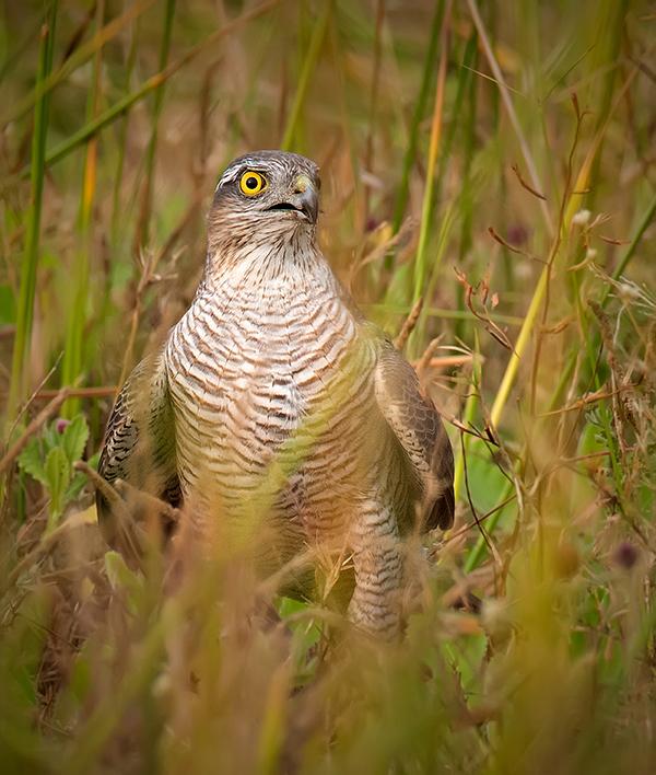 eurasian-sparrowhawk