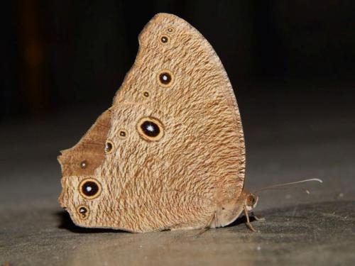 3-spotted-butterfly