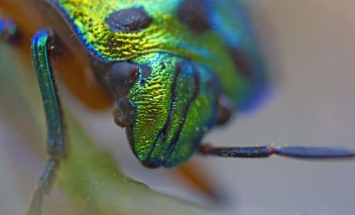 Green Spotted Beetle