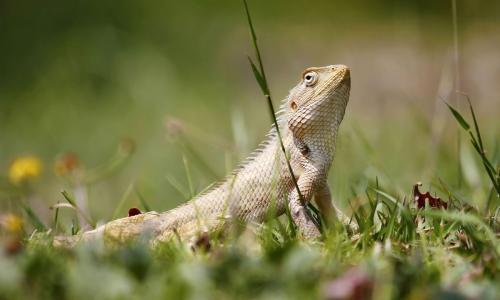 Oriental-Garden -Lizard