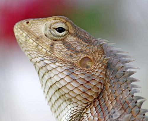 Oriental Garden-Lizard