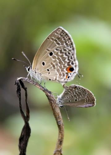 Oriental-Plain-Cupid-Butterfly-mating