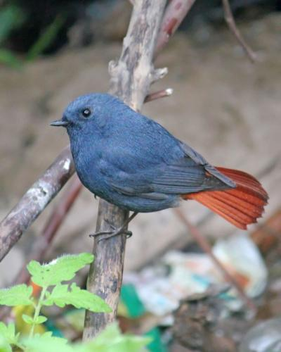Plumbeous Water Redstart-Male