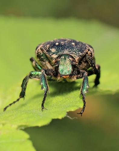 White-Spotted-Fruit-Chafer-Beetle