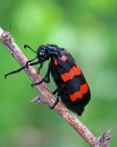 blister-beetle