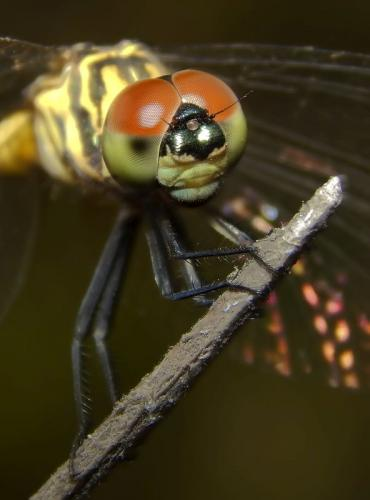 blue-dasher-female_3