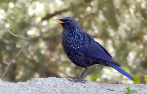 blue-whistling-thrush