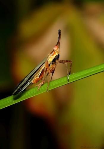 Laltern bug