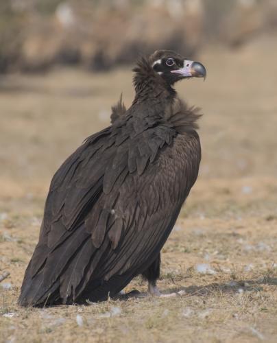 cinereous-vulture (Aegypius monachus)