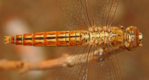 common-darter-female
