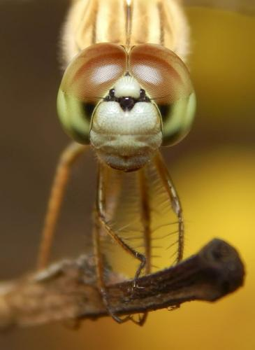 common-darter