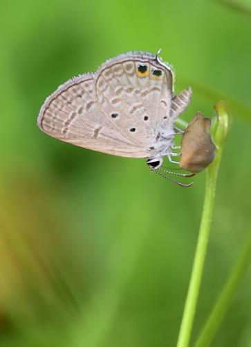 common-line-blue-butterfly