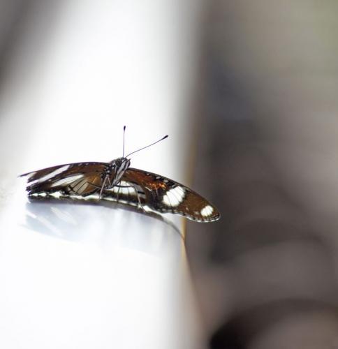 Daniad eggfly