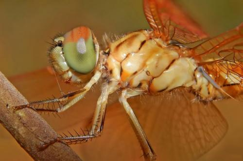 ditch-jewel-dragonfly_2