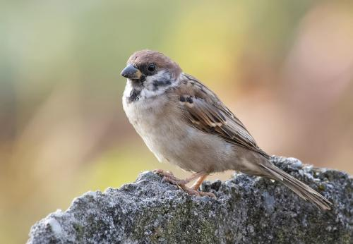 Eurasian-tree Sparrow