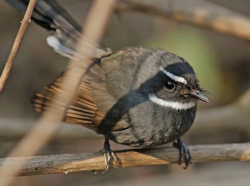 Fantail flycatcher