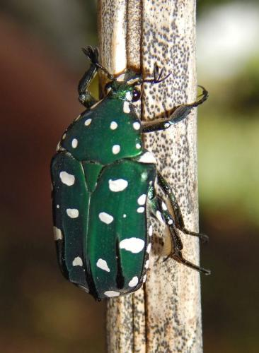fruit-chafer-beetle
