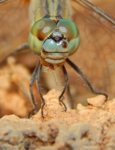 Green faced Dragonfly
