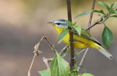 grey-hooded-warbler