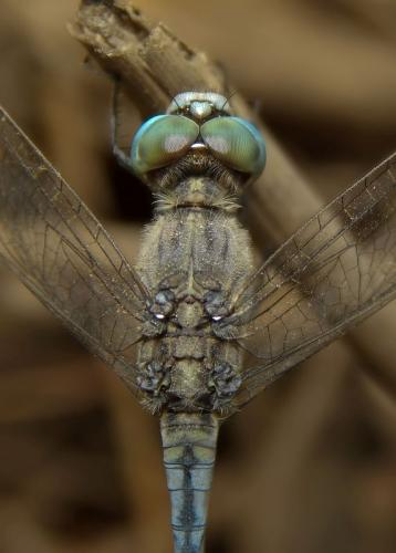 Ground-skimmer Male