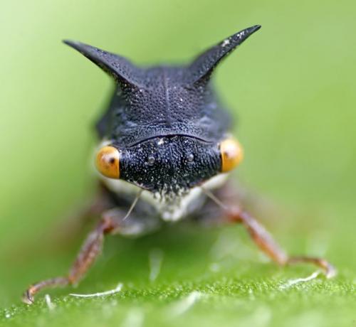 horned-treehopper